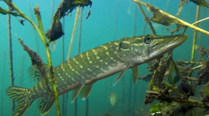 Fisch des Jahres 2016: Der Hecht