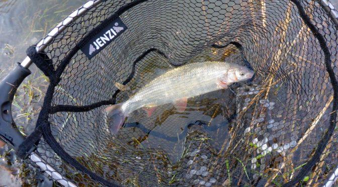Fisch des Jahres 2020: Die Nase (Chondrostoma nasus)