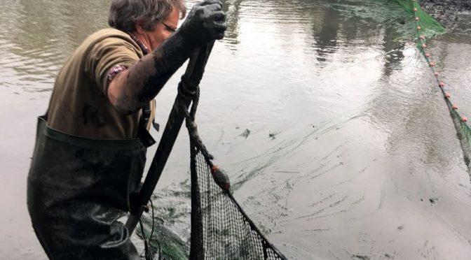 Nachzucht 2017: Abfischen der Aufzuchtteiche Stieglitzeck