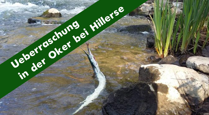 Überraschung in der Oker: Seltene Meeresfische auf Wanderung in Hillerse