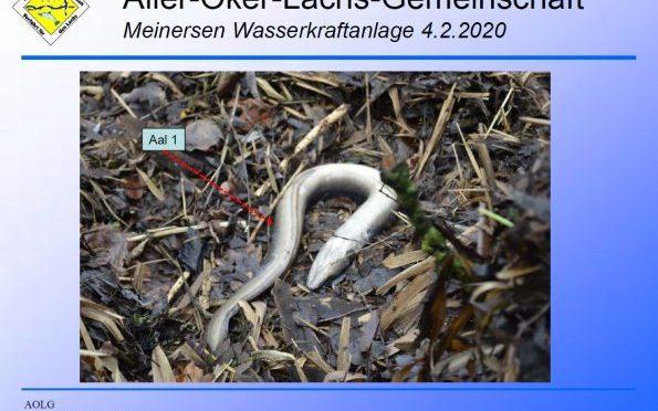 Katastrophal und grausam: dutzende Aale verenden in Wasserkraftanlage an der Oker (Meinersen)
