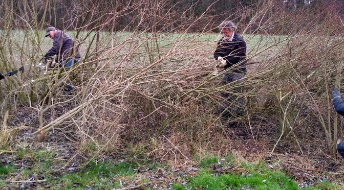 Naturschutz: ASV Hillerse legt Knickhecke an